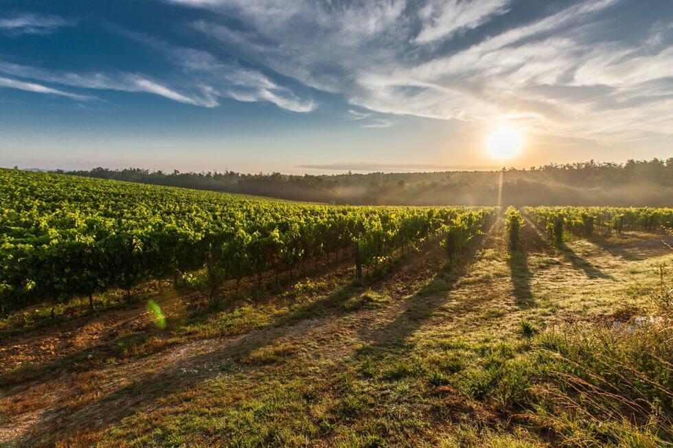 Lendavská oblast - vinice